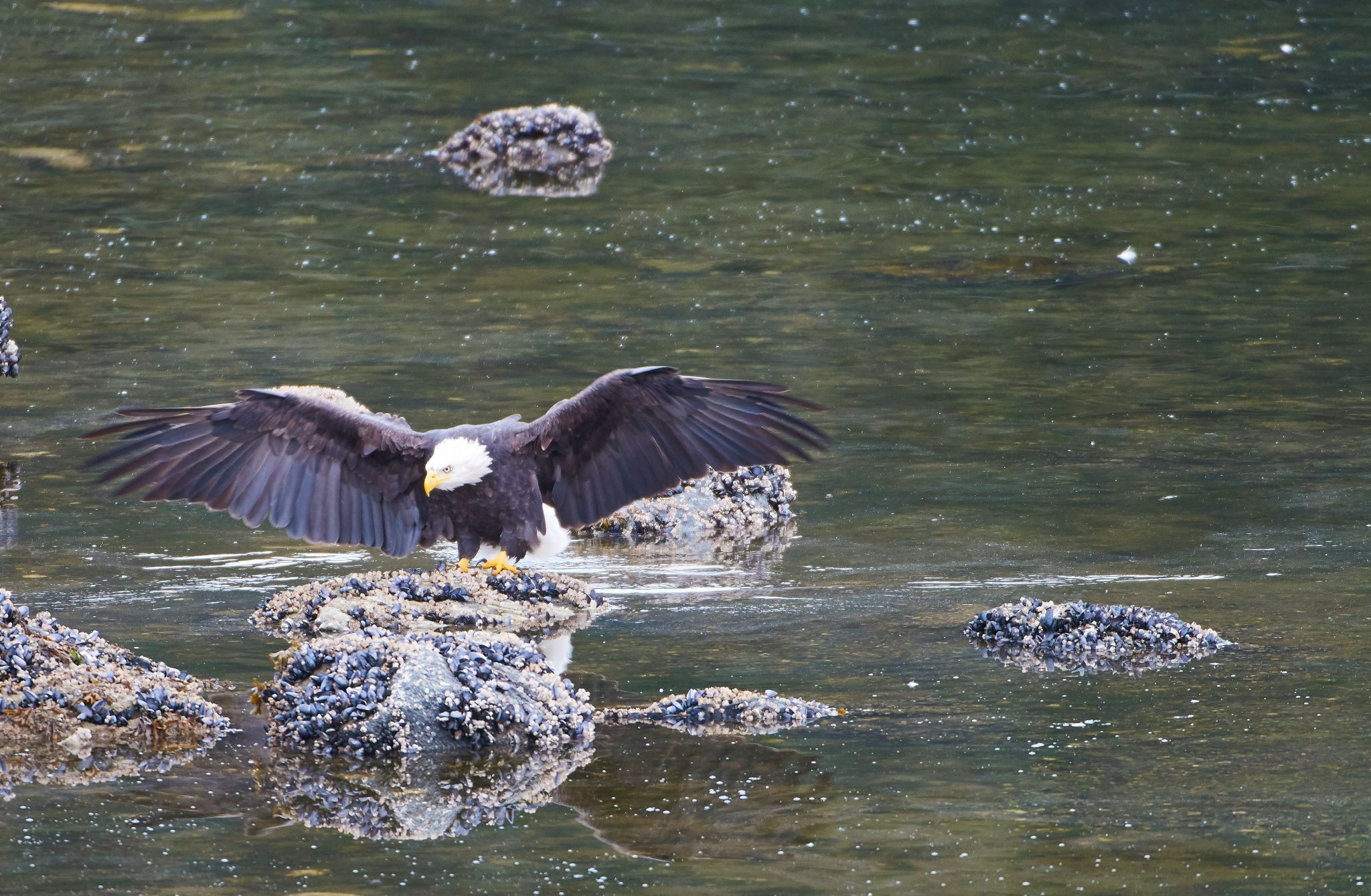 Eagle at Auke Bay