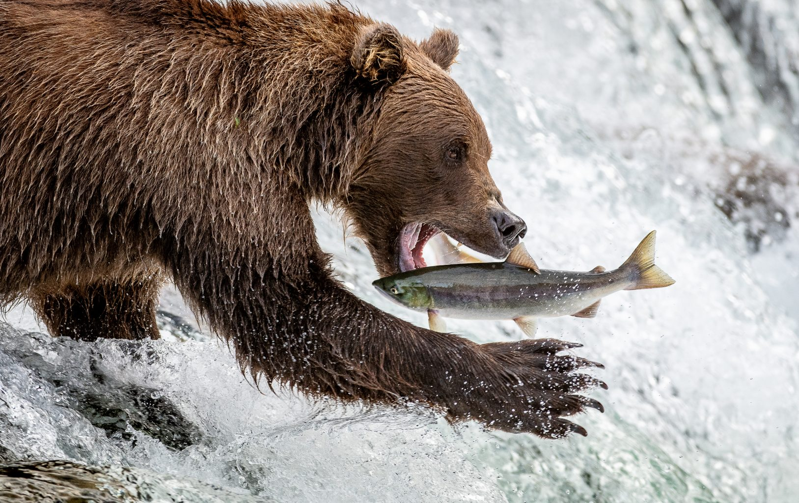 Alaska grizzly bear catches salmon on a Wild Departures tour with Alaska magazine pro photographer Michelle Theall
